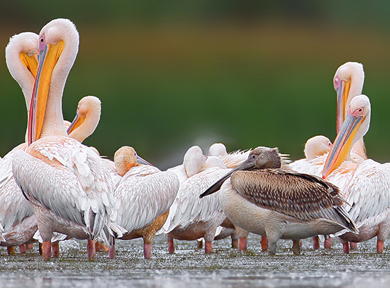 Group of pelicans standing in lake