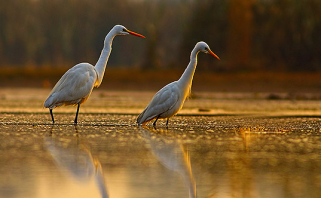 White birds walking through everglades waters