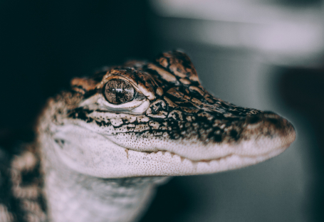 Close up of baby aligator