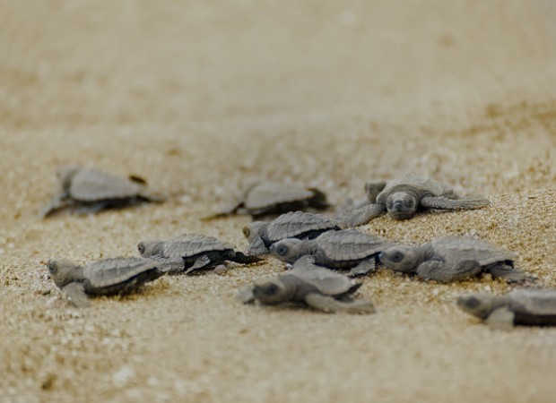 Hatchlings Release