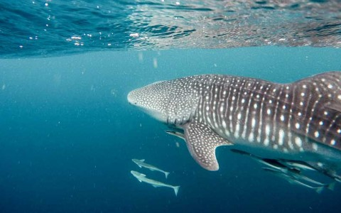Swimming Among the Whale Sharks with Cabo Adventures
