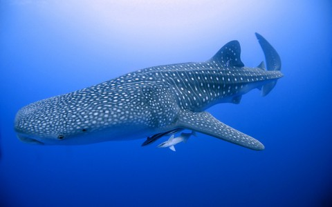 Whale Shark Adventure at Cabo Adventures