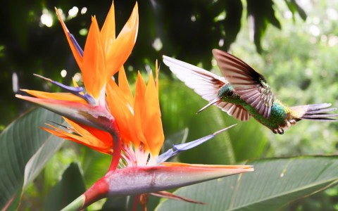 Humming bird flying towards bright orange flower