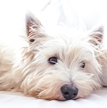 small white dog resting head on bed