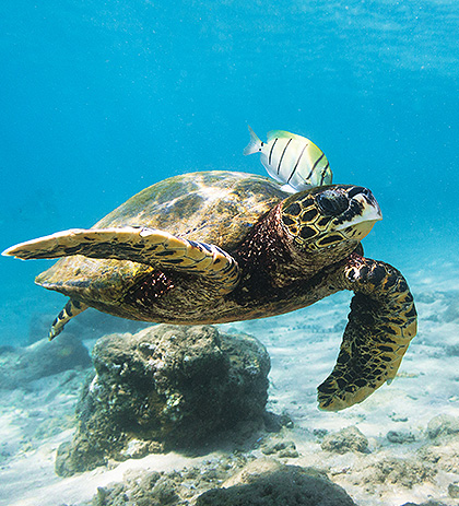 sea turtle swimming through the ocean with a fish on his back