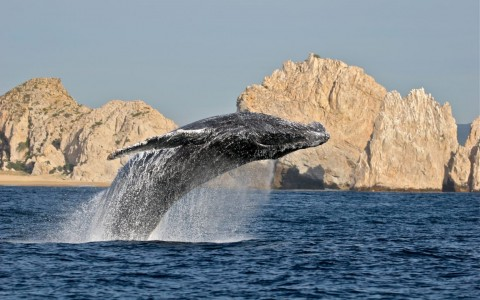 Whale Watching Season in Los Cabos Kicks Off Dec. 15 Blog Post