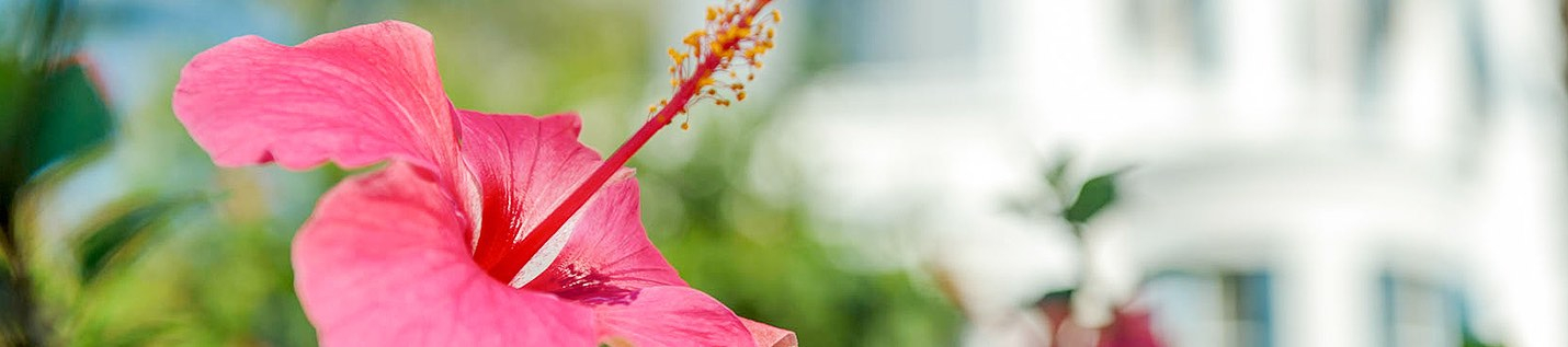 Close up of pink hibiscus