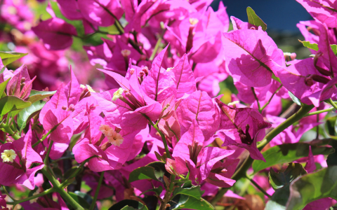 Close up of magenta flowers