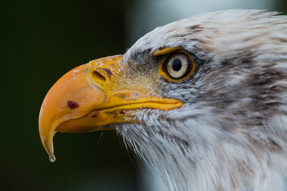Closeup Side View of Bald Eagles Head