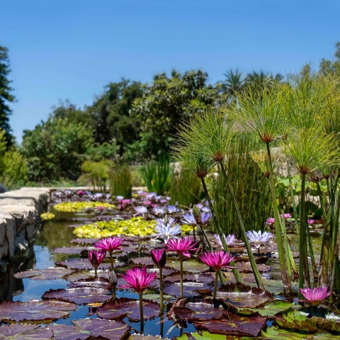 san ysidro pond with water lillies