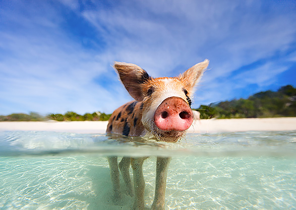 Swimming with Pigs  Inset