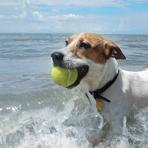 Dog fetching ball in beach water