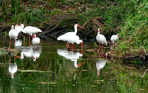 White birds in a pond