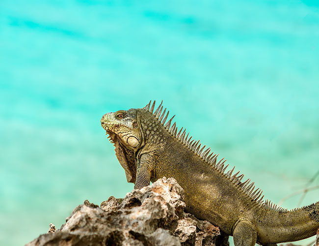Iguana sitting on a rock