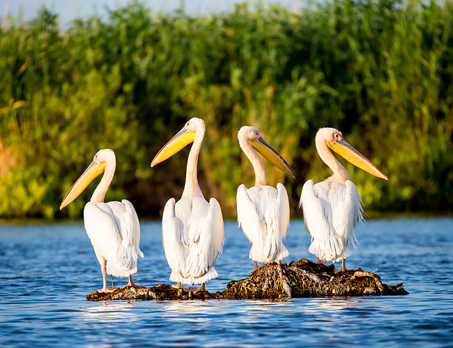 White pelicans sitting on a rock in the water