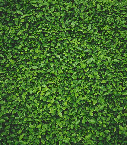 Green leaf bush texture