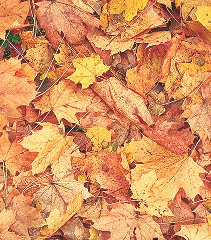 Autumn colored leaf texture