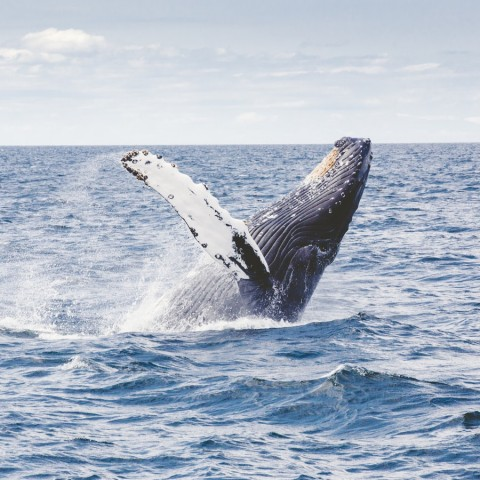 whale breeching the water