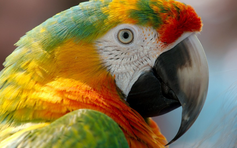Brilliantly Colored Macaw