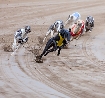 Greyhounds racing around a track