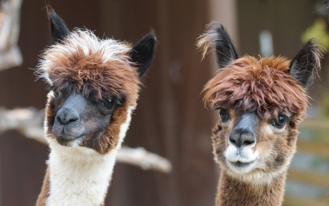 close up of alpacas