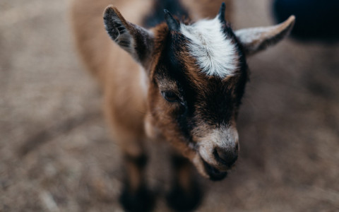 close up of brown and white baby goat
