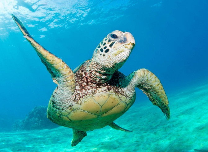 sea turtle in ocean