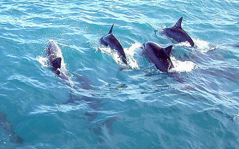Four dolphins jumping through  the blue ocean