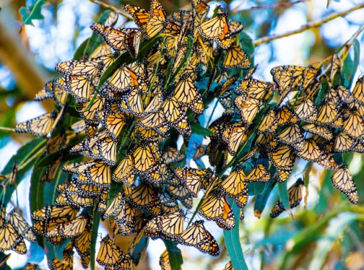 monarch butterflies in eucalyptus tree