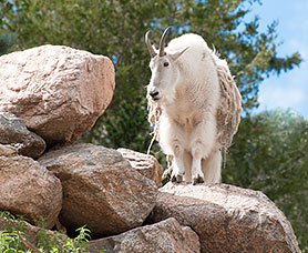 a goat standing on top of a rock at the Cheyenne Zoo