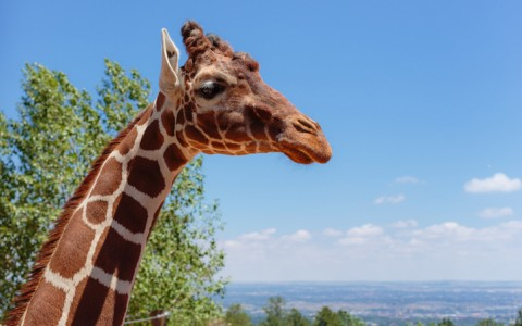 giraffe at the cheyenne mountain zoo