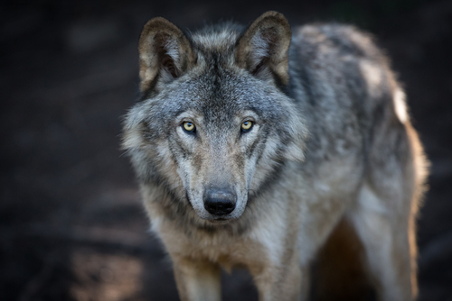 Meet Beautiful Wolves at This Exclusive Event