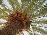 Upward view of palm tree