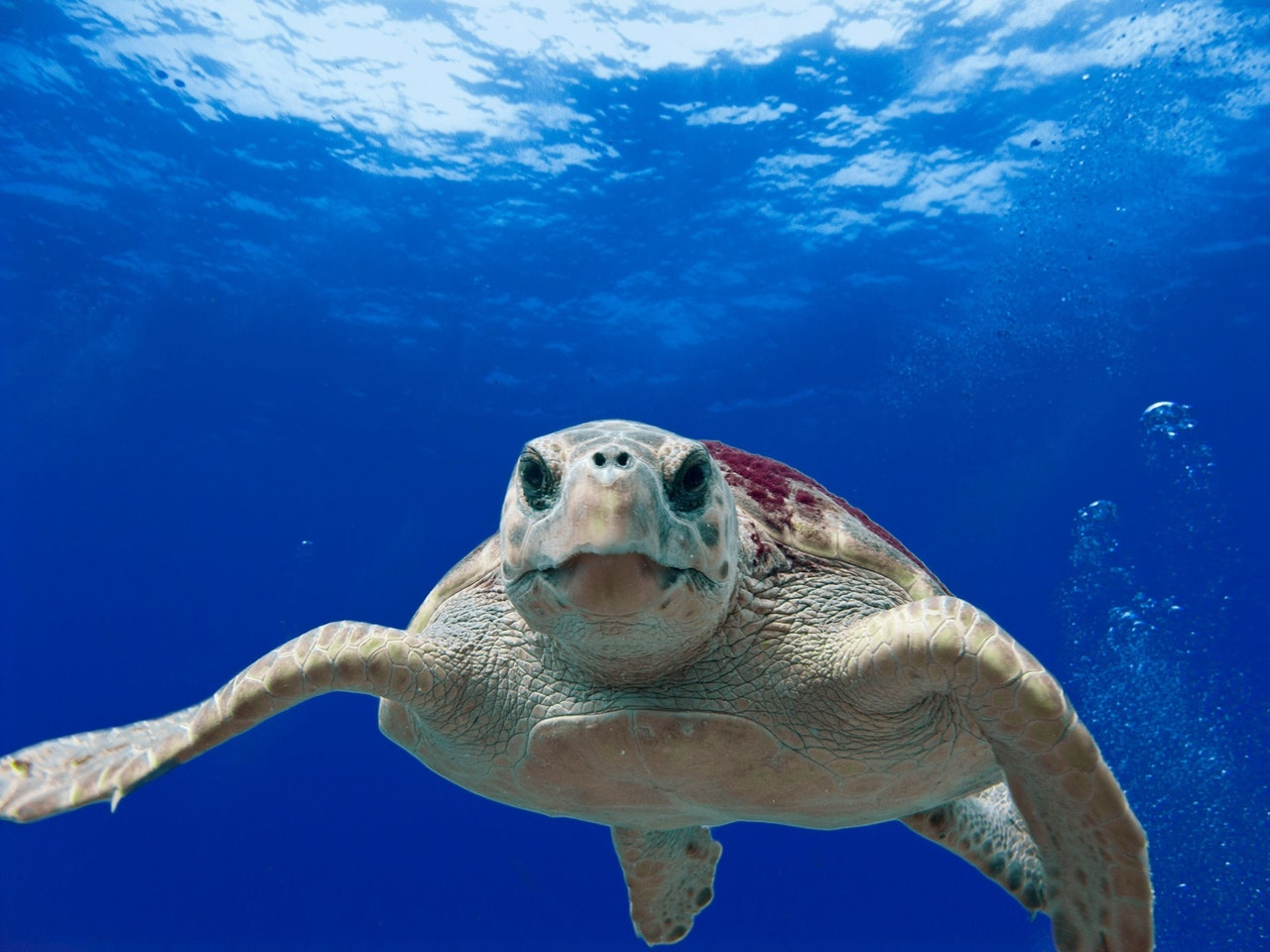 Loggerhead turtle swimming