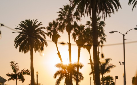 tall palm trees lined up during sunset