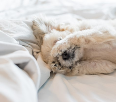 furry dog in white bed sheets