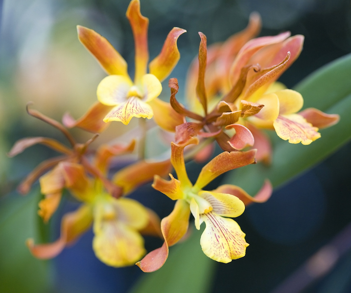 up close of orange and yellow orchids