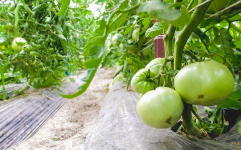 close up of tomato crops