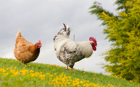 two chickens in an open field
