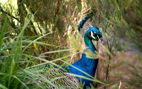 closeup of a colorful male peacock hiding among the bushes