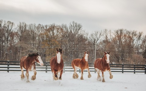 for clydesdale horses in the snow