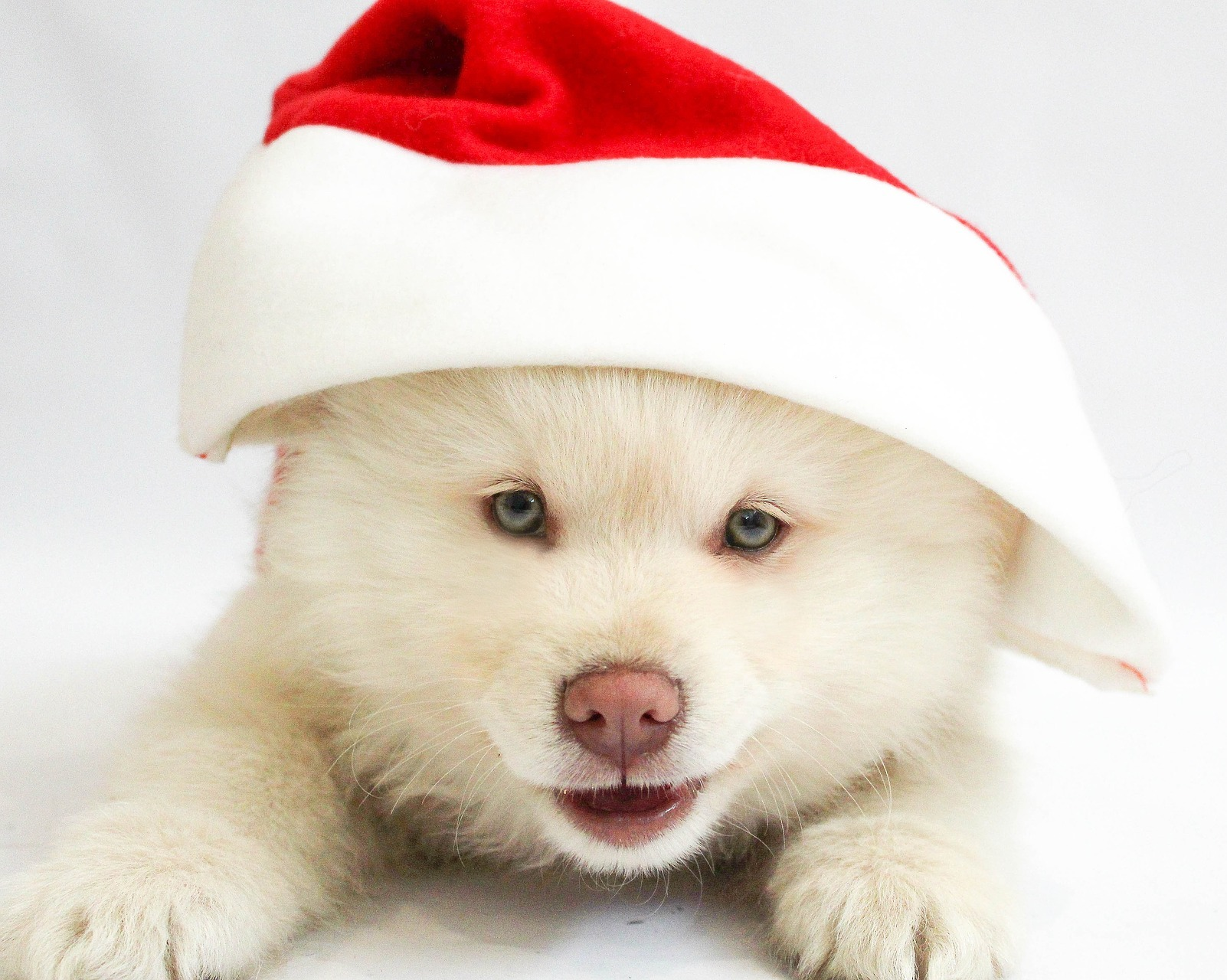 White Puppy with Santa Hat