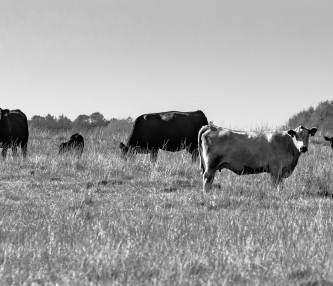 Old black and white image of cows on field