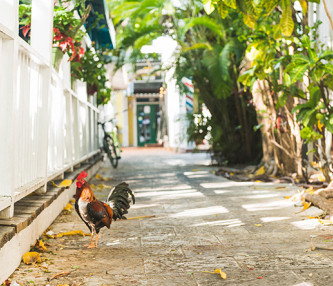 Rooster in alley next to white fence