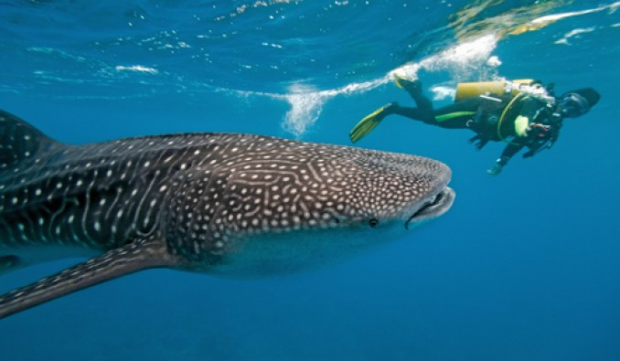 2015-0626-Swim-With-Whale-Sharks-58004ef8725a7.jpg