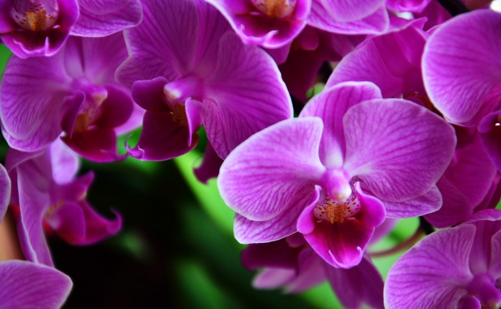 Closeup on bright purple orchids