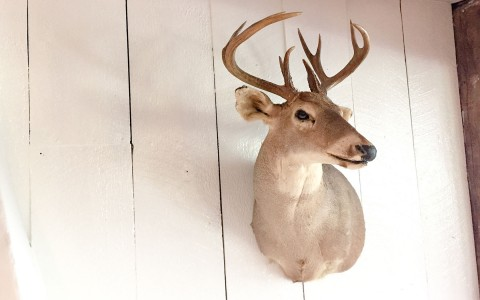 deer head mounted on a wood wall