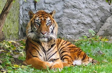 Tiger laying on grass