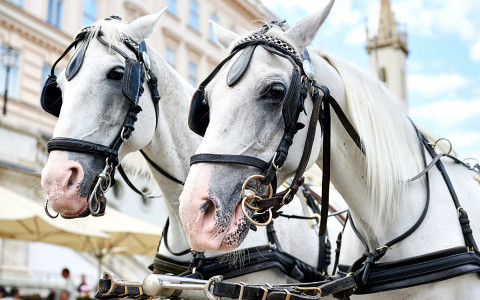 two white horses with barding