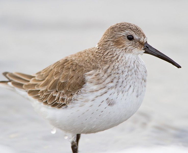 brown and white bird standing in the surf
